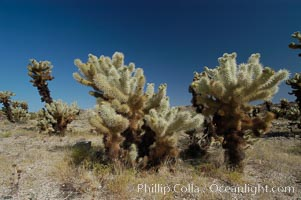 A small forest of Teddy-Bear chollas is found in Joshua Tree National Park. Although this plant carries a lighthearted name, its armorment is most serious. Joshua Tree National Park, California, USA, Opuntia bigelovii, natural history stock photograph, photo id 09142