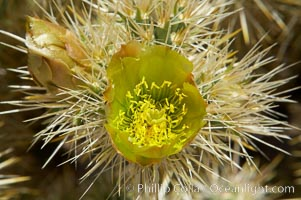 Teddy-Bear cholla blooms in spring. This species is covered with dense spines and pieces easily detach and painfully attach to the skin of distracted passers-by, Opuntia bigelovii, Joshua Tree National Park, California