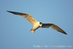 Unidentified tern, San Diego Bay National Wildlife Refuge