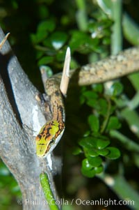 Twig snake.  The twig snake is back-fanged, having its short fangs situated far back in the mouth.  Its venom will subdue small prey such as rodents.  Its is well camouflaged, resembling a small twig or branch in the trees that it inhabits, Thelotornis capensis oatesii