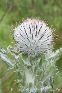 Unidentified thistle, San Elijo Lagoon, Encinitas, California