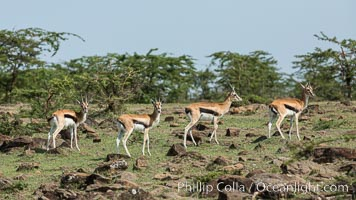 Thompson's gazelle, Maasai Mara, Kenya. Olare Orok Conservancy, Kenya, Eudorcas thomsonii, natural history stock photograph, photo id 30004