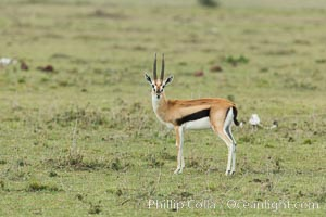 Thompson's gazelle, Maasai Mara, Kenya. Olare Orok Conservancy, Kenya, Eudorcas thomsonii, natural history stock photograph, photo id 30048
