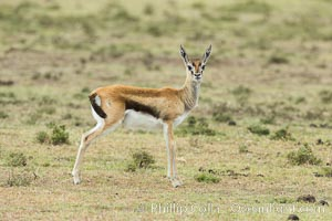 Thompson's gazelle, Maasai Mara, Kenya. Olare Orok Conservancy, Eudorcas thomsonii, natural history stock photograph, photo id 30050