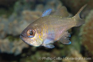 Threadfin cardinalfish., Apogon leptacanthus, natural history stock photograph, photo id 08880