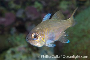 Threadfin cardinalfish., Apogon leptacanthus, natural history stock photograph, photo id 08881
