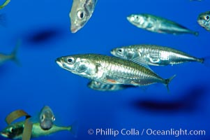 The three-spined stickleback is found in freshwater, brackish and marine waters, Gasterosteus aculeatus