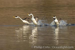 Three Western Grebes Rushing on Lake Hodges, San Diego, California