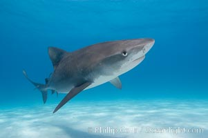 Tiger shark. Bahamas, Galeocerdo cuvier, natural history stock photograph, photo id 10648