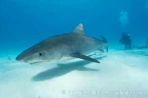 Tiger shark. Bahamas, Galeocerdo cuvier, natural history stock photograph, photo id 10656