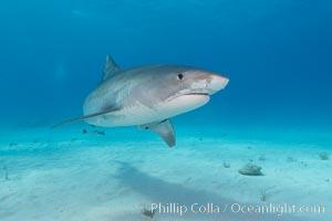 Tiger shark. Bahamas, Galeocerdo cuvier, natural history stock photograph, photo id 10663