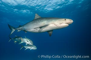 Stock photographs of tiger sharks, underwater images, from the Bahamas.