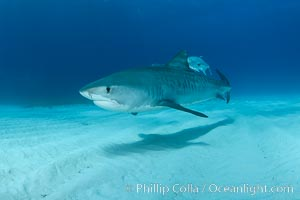 Tiger shark and horse-eye jacks. Bahamas, Galeocerdo cuvier, natural history stock photograph, photo id 31930