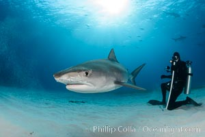 Tiger shark and SCUBA diver, Galeocerdo cuvier
