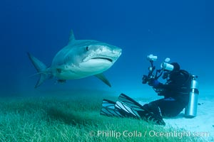 Image 31941, Tiger shark and underwater photographer. Bahamas, Galeocerdo cuvier