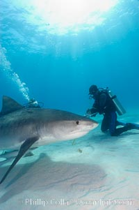 Tiger shark and diver. Bahamas, Galeocerdo cuvier, natural history stock photograph, photo id 10651