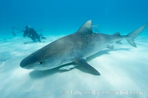Tiger shark and photographer Keith Grundy. Bahamas, Galeocerdo cuvier, natural history stock photograph, photo id 10659