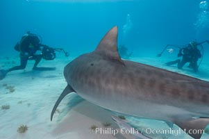 Tiger shark and photographers Ken Howard and Jim Abernethy, Galeocerdo cuvier