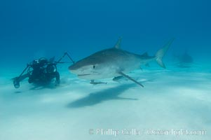 Image 10665, Tiger shark and photographer Keith Grundy. Bahamas, Galeocerdo cuvier