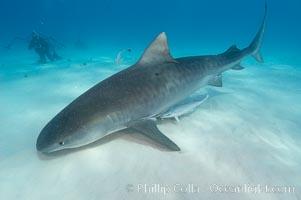 Tiger shark and photographer Ken Howard. Bahamas, Galeocerdo cuvier, natural history stock photograph, photo id 10684