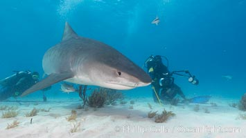 Tiger shark and photographer Jim Abernethy. Bahamas, Galeocerdo cuvier, natural history stock photograph, photo id 10690
