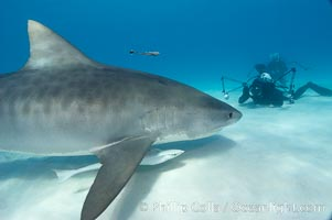 Tiger shark and photographer Keith Grundy. Bahamas, Galeocerdo cuvier, natural history stock photograph, photo id 10700