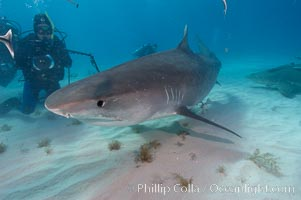Tiger shark and photographer Ken Howard. Bahamas, Galeocerdo cuvier, natural history stock photograph, photo id 10726