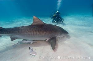 Tiger shark and photographer Jim Abernethy, Galeocerdo cuvier