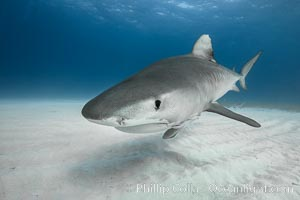Tiger shark close up view, including nostrils and ampullae of Lorenzini. Bahamas, Galeocerdo cuvier, natural history stock photograph, photo id 31878
