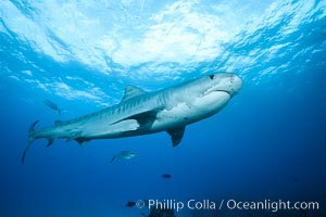 Tiger shark. Bahamas, Galeocerdo cuvier, natural history stock photograph, photo id 31881