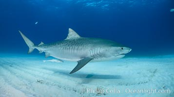 Panorama of a large Tiger shark swimming over white sand, Galeocerdo cuvier