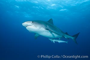 Tiger shark. Bahamas, Galeocerdo cuvier, natural history stock photograph, photo id 31893