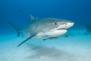 Tiger shark. Bahamas, Galeocerdo cuvier, natural history stock photograph, photo id 31898