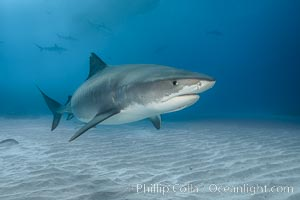 Tiger shark. Bahamas, Galeocerdo cuvier, natural history stock photograph, photo id 31902