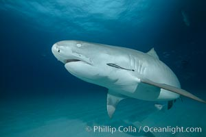 Tiger shark with closed nictating membrane, Galeocerdo cuvier