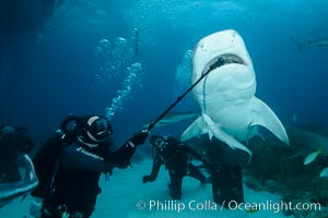 Photographing down the throat of a tiger shark with a Gopro on a selfie-stick. Bahamas, Galeocerdo cuvier, natural history stock photograph, photo id 31912