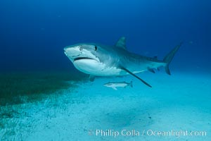 Tiger shark. Bahamas, Galeocerdo cuvier, natural history stock photograph, photo id 31918