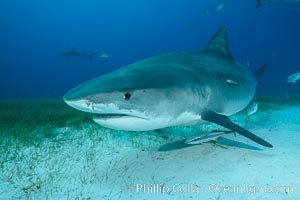 Tiger shark. Bahamas, Galeocerdo cuvier, natural history stock photograph, photo id 31919
