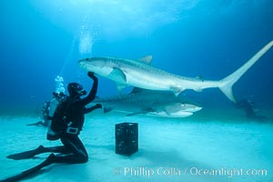 Expert hand feeds multiple tiger sharks in the Bahamas, Galeocerdo cuvier