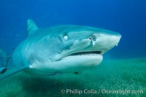 Tiger shark close up view, including nictating membrane covering the eye, nostrils and ampullae of Lorenzini. Bahamas, Galeocerdo cuvier, natural history stock photograph, photo id 31925