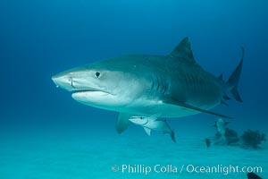 Tiger shark. Bahamas, Galeocerdo cuvier, natural history stock photograph, photo id 31933