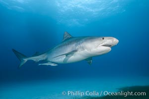 Tiger shark. Bahamas, Galeocerdo cuvier, natural history stock photograph, photo id 31937