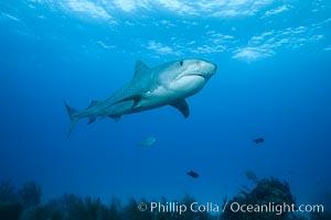Tiger shark. Bahamas, Galeocerdo cuvier, natural history stock photograph, photo id 31954