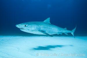 Tiger shark. Bahamas, Galeocerdo cuvier, natural history stock photograph, photo id 31957