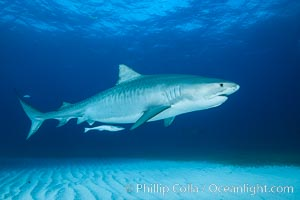 Tiger shark. Bahamas, Galeocerdo cuvier, natural history stock photograph, photo id 31958