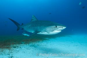 Tiger shark. Bahamas, Galeocerdo cuvier, natural history stock photograph, photo id 31964