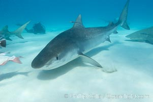 Tiger shark. Bahamas, Galeocerdo cuvier, natural history stock photograph, photo id 10691