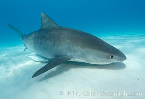 Tiger shark. Bahamas, Galeocerdo cuvier, natural history stock photograph, photo id 10699
