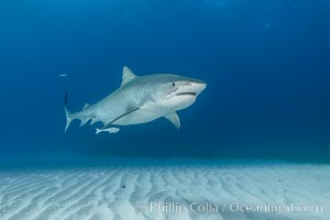 Panorama of large Tiger shark over white sand, Galeocerdo cuvier