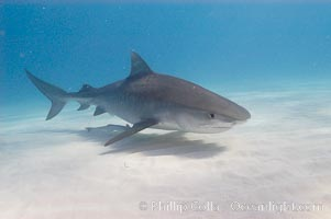 Tiger shark. Bahamas, Galeocerdo cuvier, natural history stock photograph, photo id 10728